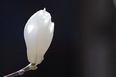 magnolia (harum.koh) Tags: magnolia plantae yulanmagnolia magnoliaceae whitemagnolia magnoliophyta magnoliopsida 玉堂春 玉蘭花 magnoliadenudata magnoliales tracheophyta 白木蓮 taxonomy:class=magnoliopsida 白玉蘭 taxonomy:kingdom=plantae 55250mm efs55250mm taxonomy:phylum=magnoliophyta taxonomy:genus=magnolia taxonomy:order=magnoliales taxonomy:family=magnoliaceae taxonomy:binomial=magnoliadenudata taxonomy:species=denudata taxonomy:superphylum=tracheophyta taxonomy:common=yulanmagnolia taxonomy:common=whitemagnolia taxonomy:common=玉蘭花 taxonomy:common=玉堂春 taxonomy:common=白玉蘭