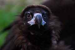 Aegypius monachus (J. Verspeek) Tags: pink brown black bird leuven dead close breeding program vulture beatiful planckendael aegypius monachus