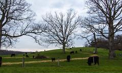 Grazing (ramseybuckeye) Tags: life county morning trees ohio sky black art grass fence cattle cows pentax angus meadow logan hillside grazing