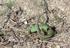 Fight Club (1 of 3) combat between male sand lizards, Lacerta agilis (willjatkins) Tags: macro lizard lizards britishwildlife lacerta animalbehaviour lacertaagilis sigma105mm sandlizard ukwildlife springwildlife britishreptiles dorsetwildlife macrowildlife britishlizards animalcombat britishreptilesandamphibians ukreptiles nikond7100 britishherpetofauna ukamphibiansandreptiles ukreptilesandamphibians britishamphibiansandreptiles dorsetreptiles dorsetlizards ukherpetofauna dorsetherpetofauna