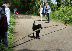 Probably The Biggest Stick In The World! (RiverCrouchWalker) Tags: people labrador path surrey stick northdowns northdownsway reigate probablythebiggeststickintheworld