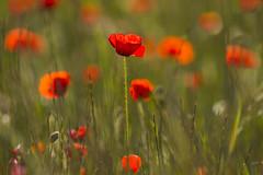 Les coquelicots (Philis.Nat) Tags: fleurs canon de rouge jour printemps contre champ verte herbe tige profondeur coquelicots eos7d