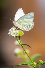 B36C4885 (WolfeMcKeel) Tags: vacation white lake butterfly keys spring key florida wildlife butterflies national crocodile largo refuge nwr 2016 floridakeys2016vacationspring