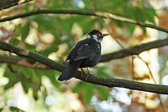 Leucistic Blackbird (greggys stuff) Tags: blackbird singleton ornamentalgardens leucistic