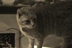 Cat curiosity (Cristina Palmarini) Tags: sepia cat gatto seppia