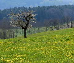 (:Linda:) Tags: germany landscape village meadow thuringia dandelion cherrytree bloomingtree poppenwind explored