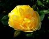 - Rosa 'Sunsprite' - (Jac Hardyy) Tags: flowers roses flower rose yellow petals shiny shine blossom blossoms rosa stamens petal gelb stamen bloom blooms rosen blüte blütenblätter leuchtend blüten floribunda kordes rosaceae leuchten friesia floribundarose blütenblatt rosenblüte staubblätter spp sunsprite staubblatt floribundarosen