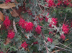 Grevillea humifusa, Kings Park, Perth, WA, 18/05/16 (Russell Cumming) Tags: plant perth kingspark westernaustralia grevillea proteaceae grevilleahumifusa
