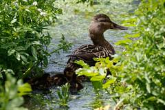 _F0A9708.jpg (Kico Lopez) Tags: birds rio spain aves galicia lugo mio anasplatyrhynchos anadeazulon