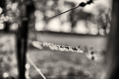 Free wool (w.mekwi photography) Tags: blackandwhite tree wool fence outdoors spring sheep bokeh hff freewool nikond800 fencefriday wmekwiphotography