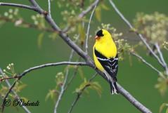 *** Chardonneret jaune / American Goldfinch (ricketdi) Tags: bird ngc american americangoldfinch cantley chardonneret chardonneretjaune spinustristis