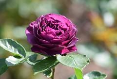 Rose (careth@2012) Tags: flower nature rose petals spring nikon britishcolumbia nikond3300 d3300
