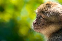 Barbary macaque (Paolo Laino) Tags: barbaryape barbarymacaque magotoutdoorfoliagecanonscimmiabertucciacloseup