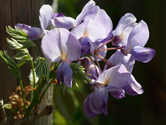 wisteria (mark.griffin52) Tags: flowers england garden spring buckinghamshire wisteria cheddington olympusem5