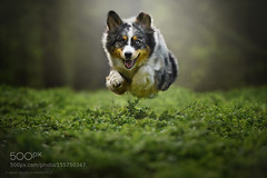 - flying dog - (tycampbe) Tags: light dog pet pets dogs animal animals licht forrest australian hund wald hunde shepher 500px ifttt