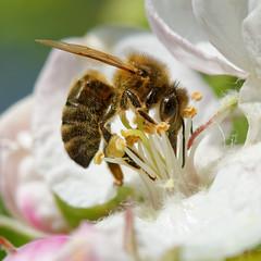 DSC_7077_DxO - bee (Berzou) Tags: nature bee macrodenaturalezza macro nikond7200 nikon105mmf28 insect naturebynikon macroinsectes macrodreams