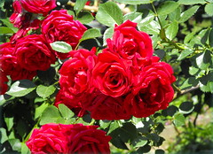 Red roses (Stella VM) Tags: flowers red roses green garden redroses