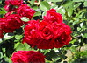 Red roses (Stella VM) Tags: flowers red roses green garden redroses цветя градина рози червени