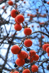 Japanese Persimmons (BeautiFuLifeStuDiO) Tags: travel autumn sky orange plant reflection tree window nature japan fruit village unesco persimmon gifu shirakawago worldheritage shirakawa gassho ogimachi  zukkuri