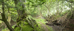 Pandy Woods (owainsj) Tags: tree green nature moss woods forrest greenery
