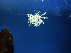 Leafy Sea Dragon, Monterey Bay Aquarium, Monterey, California, USA (jimg944) Tags: california aquarium mba monterey seahorse montereybayaquarium montereybay seadragon seahorses leafyseadragon mbari