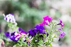 Colorful flowers (Andrija Zecevic Photography) Tags: flowers color nature colors beautiful canon lens eos bokeh terrace balcony m42 pentacon f28 135mm 700d bokehmonster bokehphotography beyondbokeh
