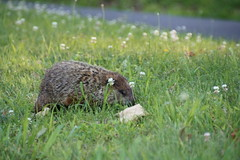 Big-n-Furry again (Jen_Vee) Tags: brown grass furry wildlife woodchuck groundhog roadside grazing wachuck