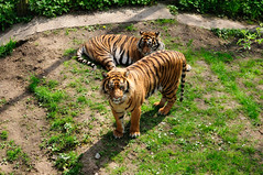Watching Tigers (EJ Images) Tags: thrigby thrigbywildlifepark wildlifepark zoo animal animals norfolk england eastanglia uk nikon nikonslr nikondslr slr dslr 2016 nef ejimages tiger tigers twotigers dsc094501 nikond750 d750 55300mmlens