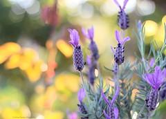 Lavender (Cristina Ferreira I Fotografia) Tags: flowers nature outdoor lavender lavanda alfazema crisferreirafotografia