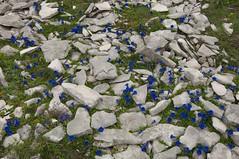 Parterre de gentianes (Samuel Raison) Tags: mountain montagne nikon vercors tente mountainhardwear gentianes fleursdemontagne hautsplateauxduvercors parcnaturelrégionalduvercors nikond2xs nikond3 mountainhardweartrango31 nikon41635mmafsgvr