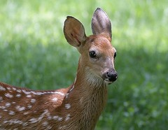 White Tail Fawn (jerryherman1) Tags: fawn whitetaildeer backyardwildlife bowie maryland