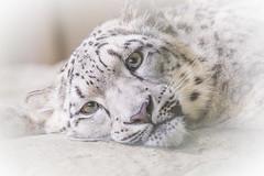 Snow leopard 2016-05-26-0301 (bzd1) Tags: animals cats roofdieren sneeuwpanter nater animal carnivore snowleopard snee mammal felidae panthera panter pantherauncia schneeleopard zookrefeld