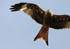 DSC_5100 Red Kite (PeaTJay) Tags: uk england birds outdoors reading gb tamron berkshire birdsofprey redkite lowerearley nikond300s