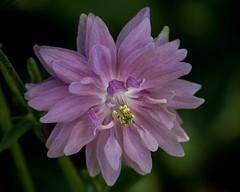 Ancolie des jardins Nora Barlow (Paul Leb) Tags: fleur flor flower aquilegia vulgaris nora barlow ancolie jardins