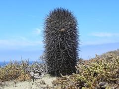 DSCN8450 (Robby's Sukkulentenseite) Tags: chile cactus cacti coquimbo meer aussicht reise kaktus kakteen eriosyce standort subgibbosa neoporteria nigrihorrida lacebada vortrag1 ka4151s