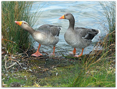 Don't stand so close to me! (macfudge1UK) Tags: uk england lake bird water fauna spring europe britain path wildlife ngc waterbird goose lakeside npc gb waterfowl oxfordshire avian thelakes anseranser 2012 oxon rspb greylaggoose stantonharcourt allrightsreserved bbcspringwatch countryfile xs1 naturethroughthelens 100commentgroup rspbamberstatus rspblovesnature fujixs1 fujifilmxs1 waterbirdchallenge2012 fujifilmfinepixxs1 finepixxs1