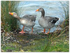 Don't stand so close to me! (macfudge1UK) Tags: uk england lake bird water fauna spring europe britain path wildlife ngc waterbird goose lakeside npc gb waterfowl oxfordshire avian thelakes anseranser 2012 oxon rspb greylaggoose stantonharcourt ©allrightsreserved bbcspringwatch countryfile xs1 naturethroughthelens 100commentgroup rspbamberstatus rspblovesnature fujixs1 fujifilmxs1 waterbirdchallenge2012 fujifilmfinepixxs1 finepixxs1