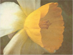 Daffodil (CameliaTWU) Tags: usa texture garden texas daffodil denton picnik monocot