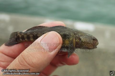 Chameleon Goby - Tridentiger trigonocephalus