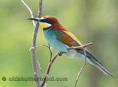 Merops apiaster (old shutterh@nd) Tags: bird bee watcher eater merops apiaster gyurgyalag
