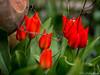 Tulpen 29.03.2012