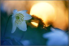 Flower Sunset (ElkesFlowers) Tags: flower buschwindrschen anemonenemorosa windrschen hexenblume hahnenfusgewchs geisseblemli