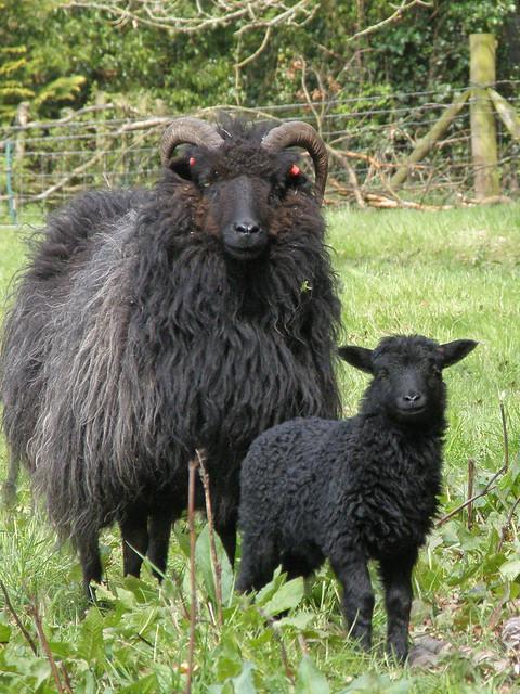 April 24th. Baa Baa Black Sheep