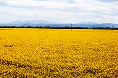 field of flowers in spring (Matteo Biguzzi [bigu77]) Tags: park flowers light summer sun green colors leaves yellow canon picnik eos500d