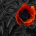 Mohnblume/Poppy