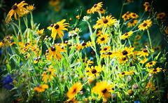 black eyed (Sky Noir) Tags: flowers summer usa black field photography us susan eyed blackeyed skynoir