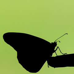 For a Moment (Victoria Hederer Bell) Tags: green silhouette butterfly finger negativespace monarch newborn odc victoriahedererbell
