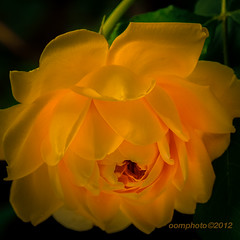 Glow from within... (oomphoto) Tags: flower macro rose yellow golden petals glow bright nikond90 nikonmicro1050mmf28 dsc45382