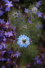 """Love in a  Mist (froggyboggler) Tags: gnomes garden"""" gardens"""" """"jeff """"better dale's"""