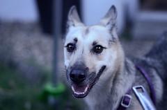 Dog (On the mountain at dawn) Tags: dog reflection eyes bokeh